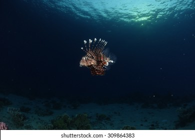 A lionfish showing off at dawn in the Red Sea, Egypt