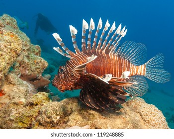 Lionfish with the silhouette of a SCUBA diver behind on a coral reef in the Red Sea