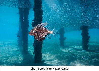 Lionfish swim amongst a shoal of bait fish under a manmade jetty