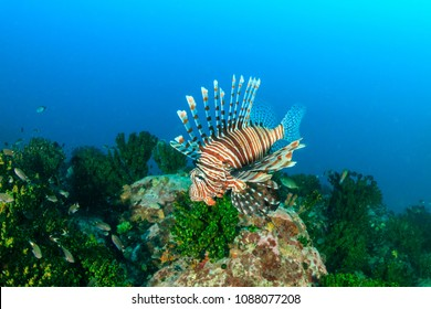 Lionfish swim around a dark tropical coral reef in Myanmar