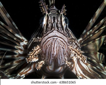 A lionfish which is an invasive species in The Caribbean, looking into the camera