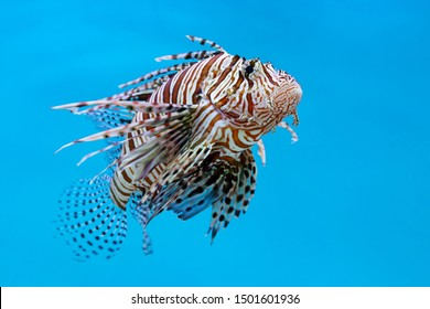 Lionfish, Zebrafish, Turkeyfish, Firefish, Butterfly-cods (Pterois sp.) a venomous marine fish on blue background