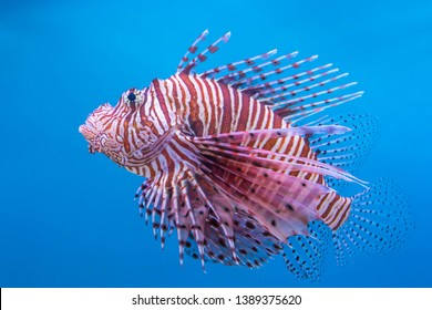 Lionfishes, Turkeyfishes, Firefishes, Butterfly-cods. Photo with selective focus.