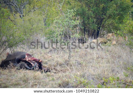 Lions and Buffalo Carcass at Kruger National Park in South Africa