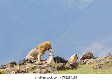 "Lions copulating (scientific name: Panthera leo, or ""Simba"" in Swaheli)  in the Ngorogoro National park, Tanzania"