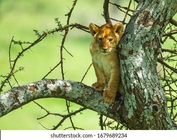 Lions cub on a branch Tanzania