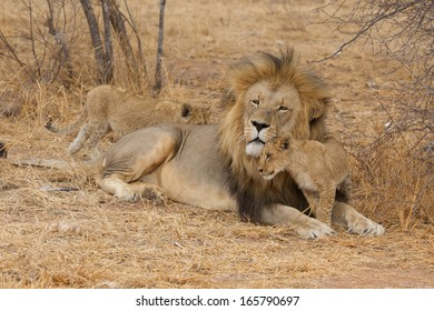 Lions with cub(s) in Kruger National Park, South Africa