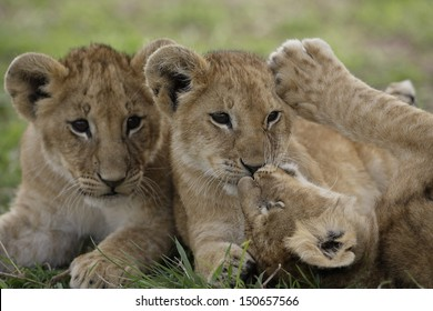 Lions cubs playing