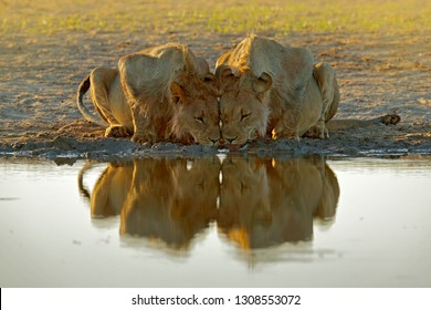 Lions drinking water. Portrait of pair of African lions, Panthera leo, detail of big animals, Kruger National Park South Africa. Cats in nature habitat. Greeting of male and female.