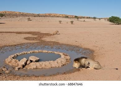Lions drinking at waterhole, Kalahari Desert
