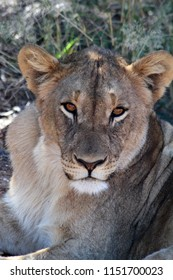 Lions either awake, asleep or stalking in long grass in Africa are beautiful. Close up lioness