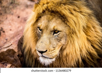 A lions face closeup, his eyes focussing on something outside the pucture