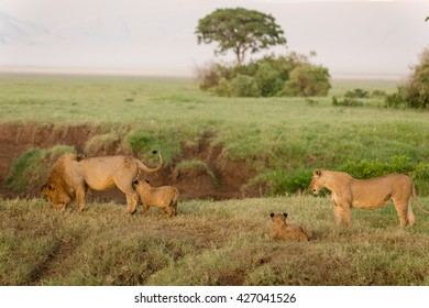 Lions family in the morning sun