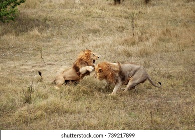 Lions fight