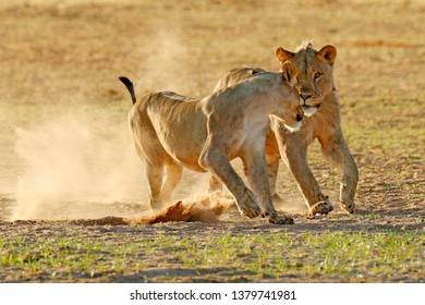 Lions fight in the sand. Lion with open muzzle. Pair of African lions, Panthera leo, detail of big animals, Etosha NP, Namibia in Africa. Cats in nature habitat. Animal behaviour in Namibia.