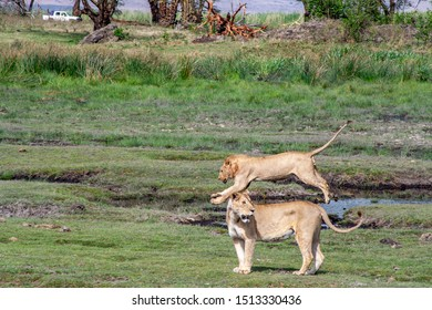 Lions frolicking at mud hole in Serengeti