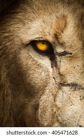 Lion's golden left eye up close with scars