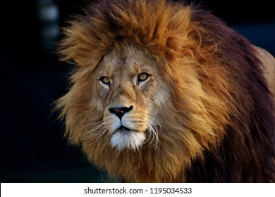 Lions have strong, compact bodies and powerful forelegs, teeth and jaws for pulling down and killing prey. Their coats are yellow-gold, and adult males have shaggy manes that range in color from blond
