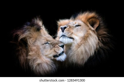 Lions Head Two Black background