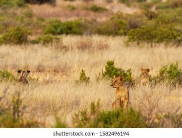 Lions hidden camouflaged in high grass, Panthera Leo, Samburu National Reserve, Kenya, Africa. Three African big cats hidden in bush scrub