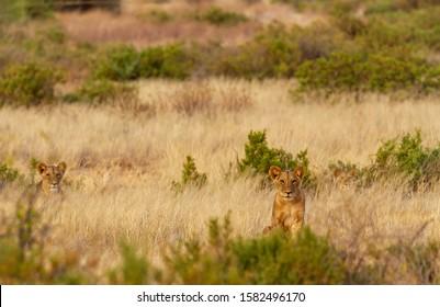 Lions hidden camouflaged in tall grass, Panthera Leo, Samburu National Reserve, Kenya, Africa. Three African big cats on savannah scrub