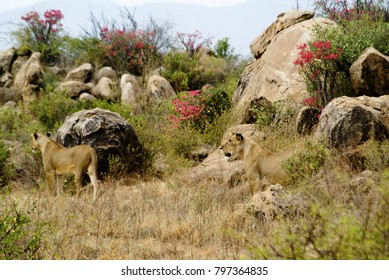 Lions hunting, hiding among boulders with desert rose in bloom, Samburu Game Reserve, Kenya