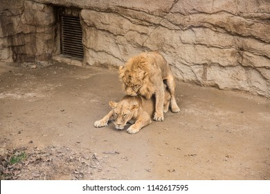 Lions intercourse in park