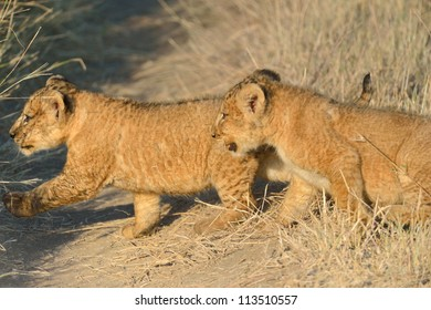 Lions kids are carefully following their mother.