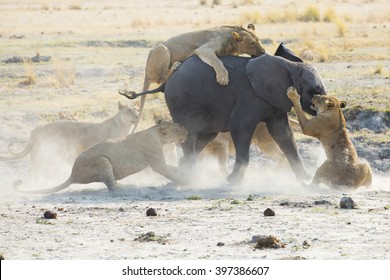 Lions kill and eat a baby elephant in Africa