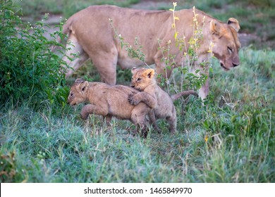 The lion's kittens (cubs of lion) are playing with lioness (female of lion). It is a good illustration on soft light which shows wild life and natural habitat.