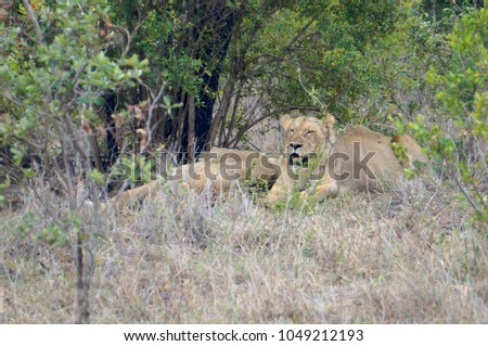 Lions at Kruger National Park in South Africa