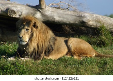 lion laying down images stock photos vectors shutterstock