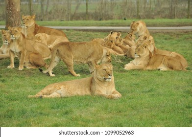 Lions at Longleat
