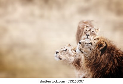 Lions look. Family of African Lions looking. lion's head in profile