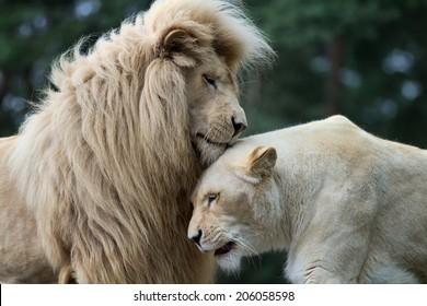 The lion's love