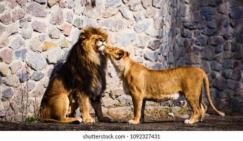 Lions, love couple