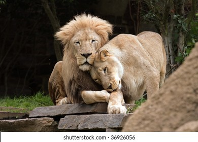 Lions in Love. A lion and a lioness cuddle.