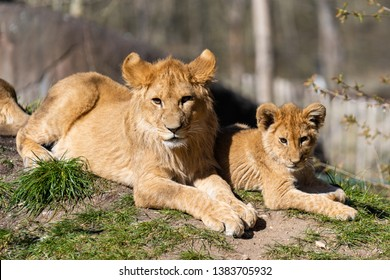 Lions lying in the sun