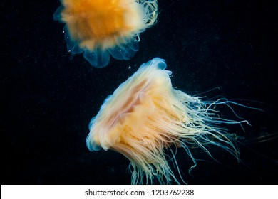 Lion's Mane drifting underwater in the gulf of st.Lawrence