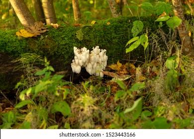 lion's mane  (Hericium erinaceus )also called  monkey head mushroom, bearded tooth mushroom, satyr's beard, bearded hedgehog mushroom, pom pom mushroom, or bearded tooth fungus