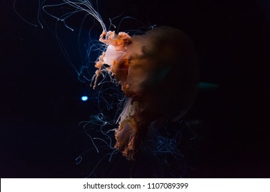 The lion's mane jellyfish or the giant jellyfish or the hair jelly, the largest known species of jellyfish