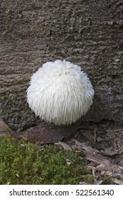 Lion's mane mushroom (Hericium erinaceus). Called Bearded tooth mushroom, Satyr's beard, Bearded hedgehog mushroom, pom pom mushroom and Bearded tooth fungus also