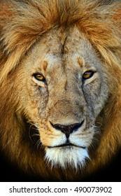 Lions Masai Mara National Park in Kenya