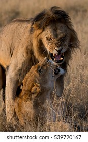 Lions mating in the Masai Mara