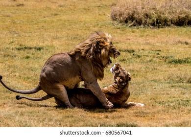Lions mating in Serengeti, Tanzania