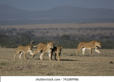 Lions in the morning
