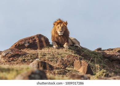 Lions in Nature