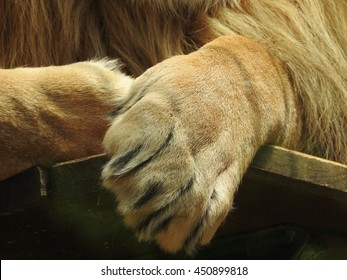 Lion's paw with claws