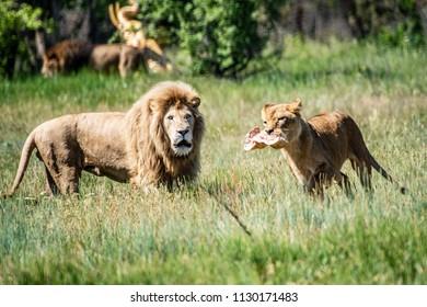 Lions Pride in African savannah