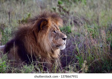 Lions in a private game reserve (South Africa)